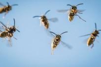 Trockene Wärme lässt Wespen-Völker wachsen