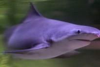Seltene Hai-Art in Australien