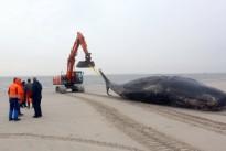 Gestrandete Wale: Da müssen schon Fachleute ran