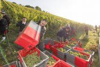 Rheingau: Bei der Weinernte gibt es jetzt kein Halten mehr
