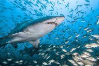 Soziales Raubtier: Sandtigerhaie treffen sich mit Freunden