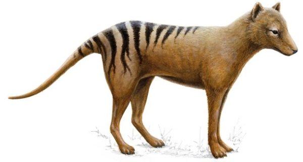 Ausgestorbene Tierart: Warum starb der Tasmanische Tiger aus?