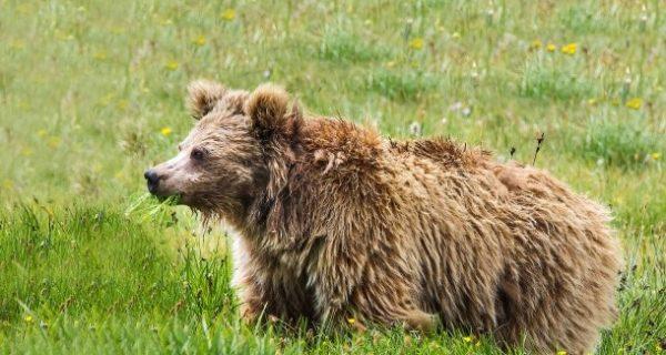 Erbgutanalyse: Yetis sind auch nur Bären