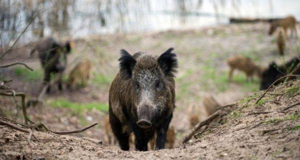 """Afrikanische Schweinepest: """"Wir Jäger sind keine Schädlingsbekämpfer"""""""