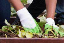 Nutzpflanzen-Verzehr verboten: Arsen im Boden: Kleingärtner müssen Handschuhe tragen