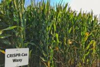 EuGH-Urteil zu Genscheren: Reiche Ernte mit bisschen Gentechnik