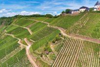 Bio-Weinbau an der Mosel: Baldriantee tut auch Trauben gut