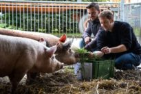 Besseres Fleisch: Sieben Kräuter für das Schwein