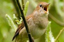 Singvögel in der Hauptstadt: Nachtigallen zieht es nach Berlin