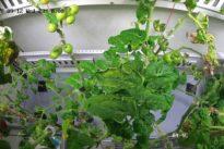 Experiment in der Antarktis: Forscher züchten Tomaten im ewigen Eis