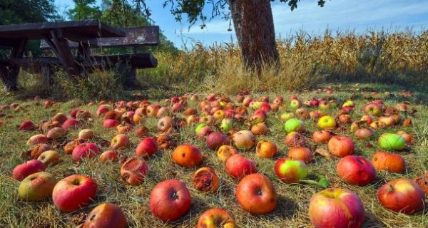 """Die Sache mit dem """"Mundraub"""": Massenhaft sündiges Obst"""