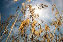 Pflanzenzüchtung gefährdet: Der Aufschrei der europäischen Gen-Gelehrten