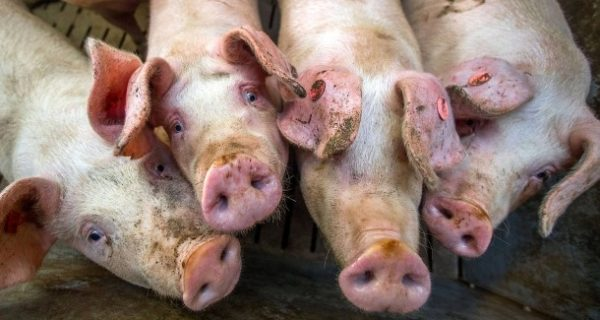 Verbot verschoben: Bauern dürfen Ferkel weiter ohne Betäubung kastrieren
