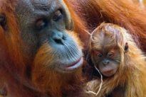 Bedrohte Menschenaffen: Eine Hängepartie für Orang-Utans