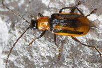 Gefräßiger Maiswurzelbohrer: Ein Schädling von Welt