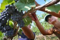 Viele kaufen beim Discounter: Wein in Deutschland ist teurer geworden
