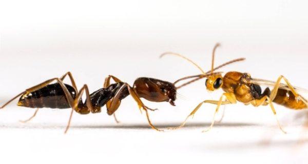 Ameisen: Der Duft der Königinnen