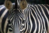 Schützendes Zebramuster: Lausige Landebahnen für Mücken