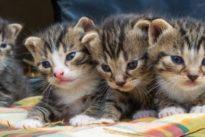 """Soziale Samtpfoten: Katzenbabys erkennen das """"Miau"""" der Mutter"""