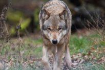 Ergebnislose Ressortgespräche: Kanzleramt macht Wölfe zur Chefsache