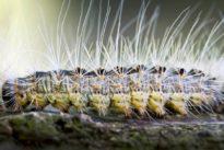 Schädlingsbekämpfung: Eichenprozessionsspinner legen Autobahn und Schulen lahm