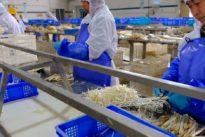 Höchste Produktion: Spargel Macht China