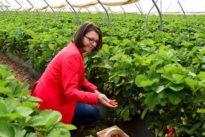 Das Kreuz mit dem Saisonstart: Erdbeeren pflücken für die Galerie