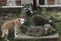 Treue bis zum Tod: Italien trauert um eine Hündin