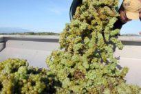 Brandflecken: Hitze schmälert Weinproduktion in Frankreich deutlich
