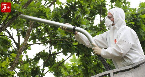 Eichenprozessionsspinner: Wie eine giftige Raupe zur Plage wird