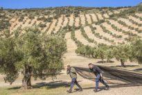 Auf Flaschen nicht angegeben: Warum aus spanischen Oliven oft italienisches Olivenöl wird