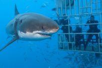 Raubfisch als Touristenmagnet: Achtung, Hai-Alarm!