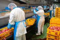 Infektionen auf Schlachthöfen: Heil: Werkverträge sind eine Wurzel des Übels